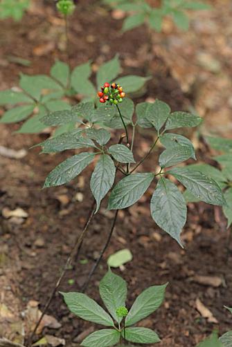 Sâm Ngọc Linh bắt đầu vào mùa cắt lá.