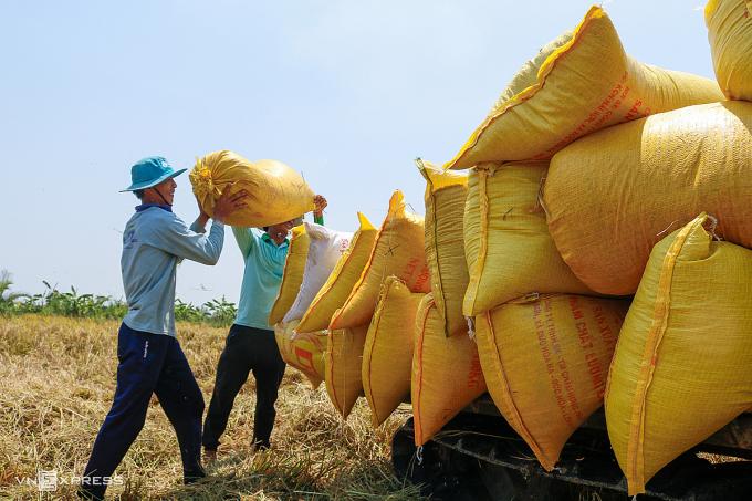 Nông dânthị xã Ngã Năm (Sóc Trăng) thu hoạch lúa vụ Đông Xuân ngày 10/3. Ảnh: Nguyệt Nhi.