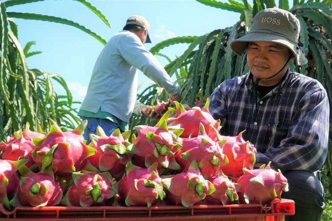 Thu hoạch thanh long tại Bình Thuận. Ảnh: Quốc Việt.