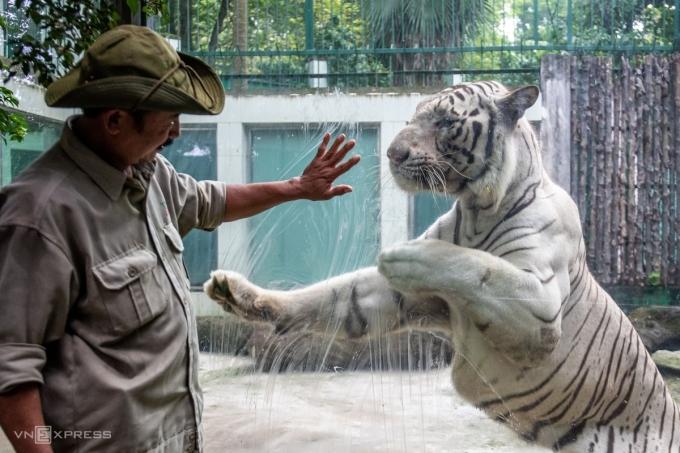 Nhân viên vườn thú chăm sóc hổ trắng, tháng 1/2020. Ảnh: Thành Nguyễn.
