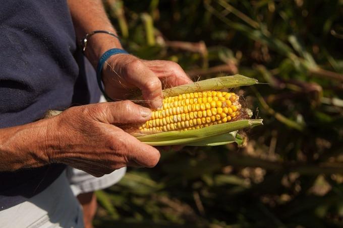 Nông dân Mỹ được mùa, mất giá - 2